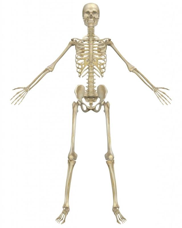 Organs - Skeletal System